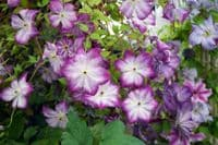 Clematis PERNILLE PBR Zo09113
